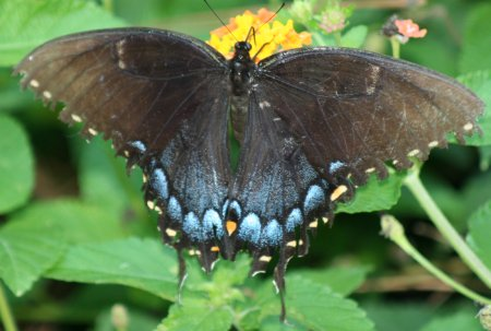 [Swallowtail butterfly - 450px]