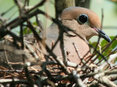 [A mourning dove up close]