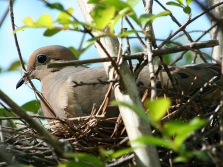 [A mourning dove on her nest]